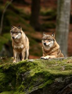 bayerischer-wald-wolves-40d_l