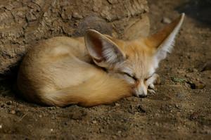 Fennecus_dormiens