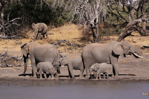 800px-African_Elephant,_Loxodonta_africana_-_adults_and_young_drinking_at_waterhole_in_Mapungubwe_(6025173518)